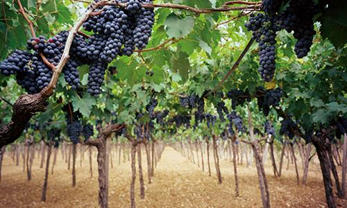 Trauben-Weinreben-Italien-Wein